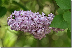 250px-Lilac_Flower&Leaves,_SC,_Vic,_13_10_2007